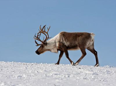 Северный олень (описание для детей) | ДоклаДики